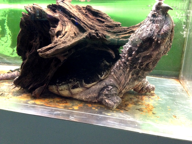 Grown Alligator Snapping Turtle